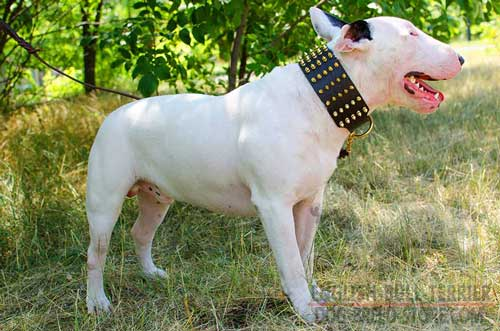 Handmade Wide Leather Bull Terrier Collar Decorated with Spikes