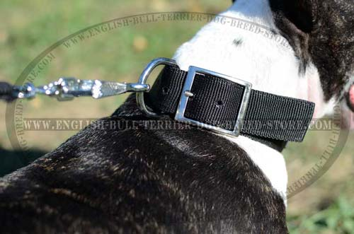 Bull Terrier collar with D-ring for on-leash training