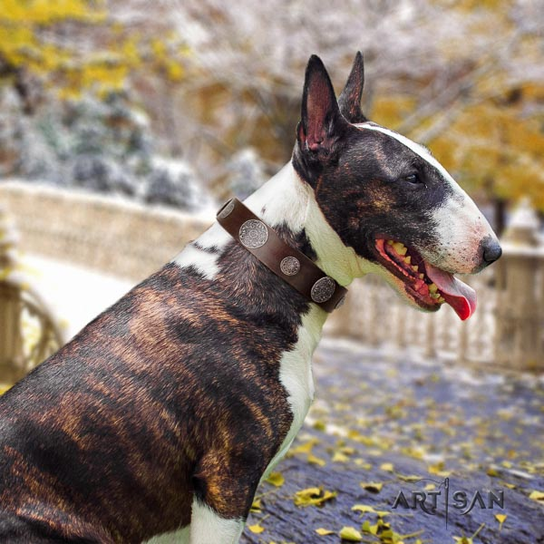 Bull Terrier comfortable wearing dog collar of exquisite quality genuine leather