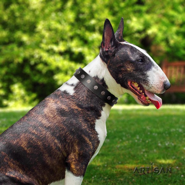 Bull Terrier comfy wearing dog collar of extraordinary quality genuine leather