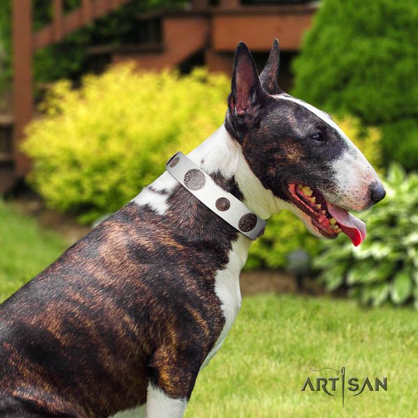 Bull Terrier comfortable wearing dog collar of exquisite quality natural leather