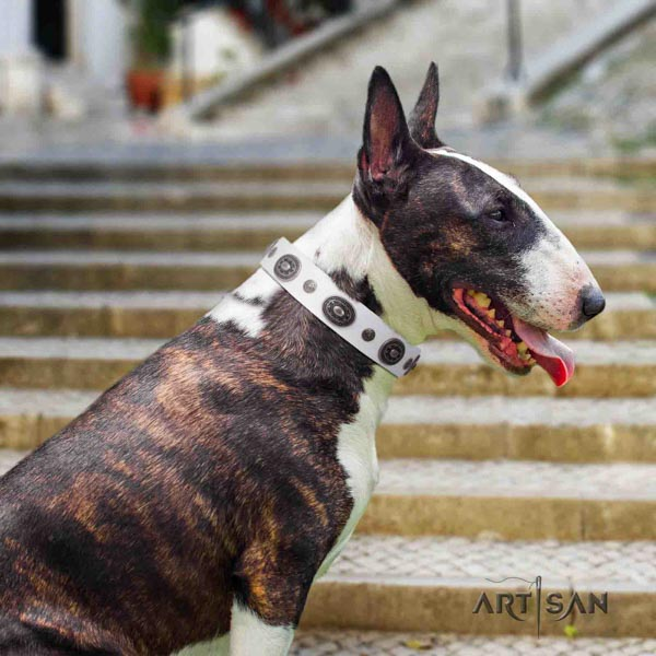 English Bull Terrier remarkable full grain natural leather collar with rust-proof traditional buckle