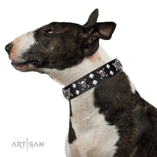English Bull Terrier exceptional full grain leather dog collar for stylish walking