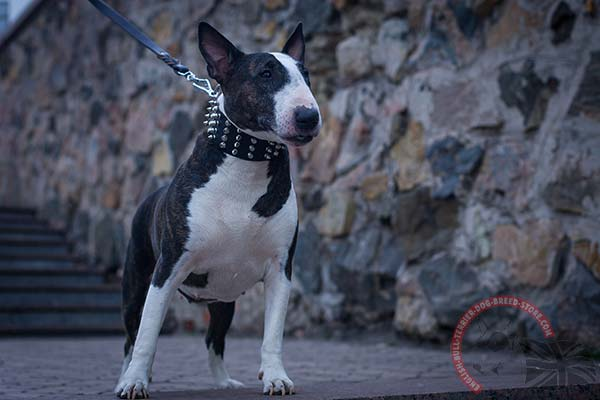 English Bullterrier black leather collar easy-to-adjust with quick release buckle for any activity