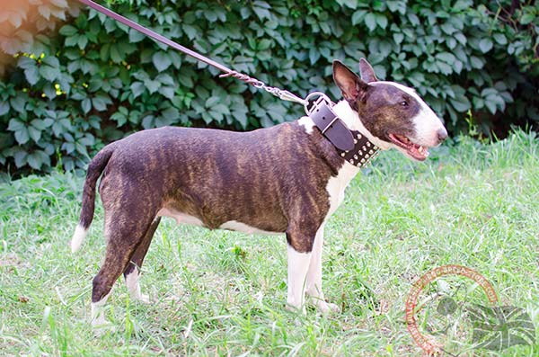 English Bullterrier brown leather collar extra wide with traditional buckle for walking