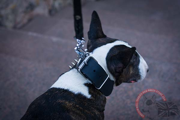 English Bullterrier black leather collar of genuine materials adorned with spikes and studs  for stylish walks