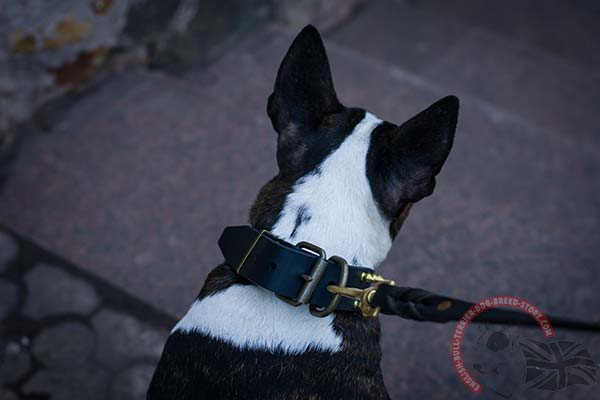 English Bullterrier black leather collar with duly riveted spikes for safe walking