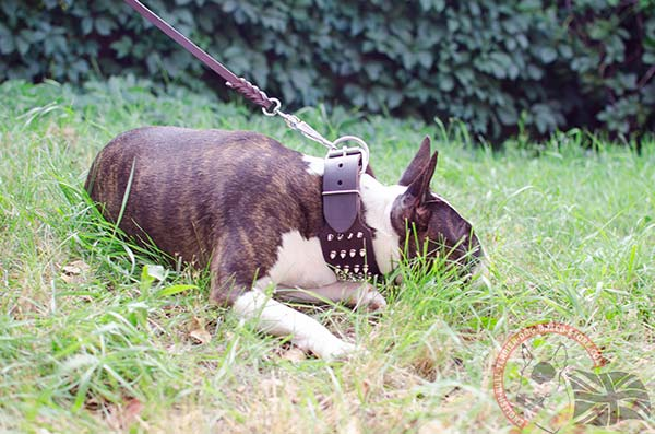 English Bullterrier brown leather collar adjustable  decorated with spikes for utmost comfort