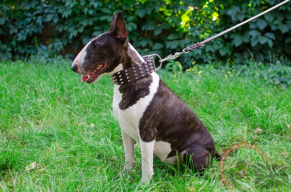 English Bullterrier brown leather collar with rust-resistant hardware for quality control