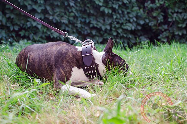 English Bullterrier brown leather collar with non-corrosive nickel plated hardware for any activity