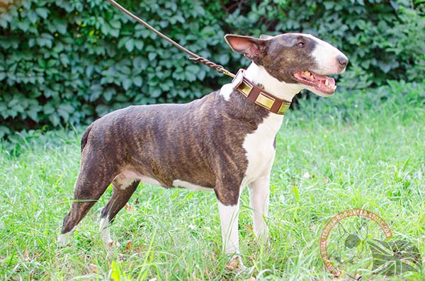 English Bullterrier brown leather collar with strong brass plated fittings for quality control