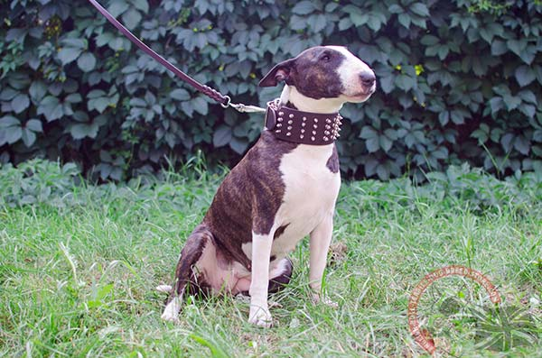 English Bullterrier brown leather collar of high quality decorated with spikes for stylish walks