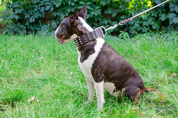 English Bullterrier brown leather collar with duly riveted fittings for perfect control