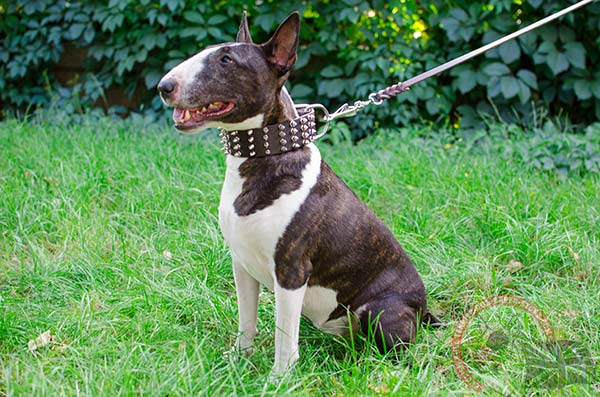 English Bullterrier brown leather collar snugly fitted adorned with spikes for daily walks