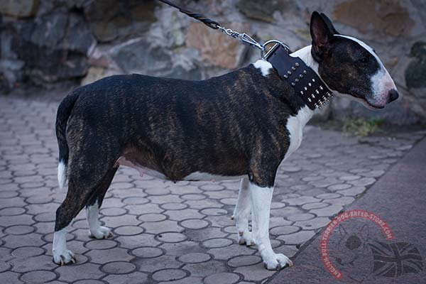 English Bullterrier brown leather collar of lightweight material with handset spikes for quality control
