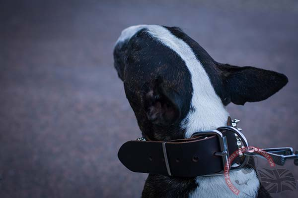 English Bullterrier black leather collar of genuine materials studded for walking