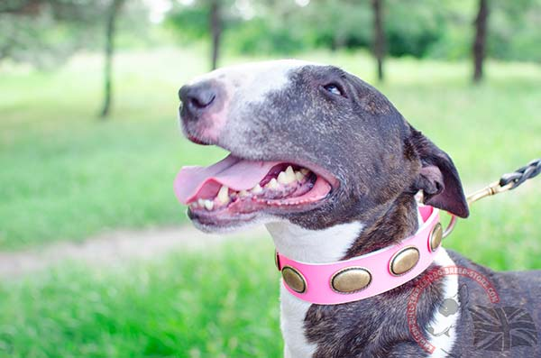 English Bullterrier pink leather collar with rustless brass plated hardware for daily walks