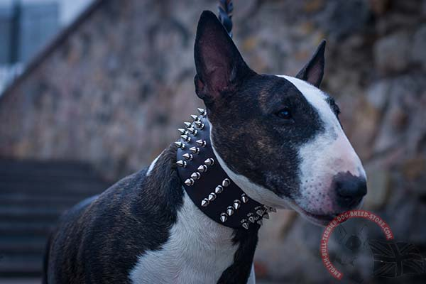 English Bullterrier brown leather collar with rust-proof spikes for better comfort