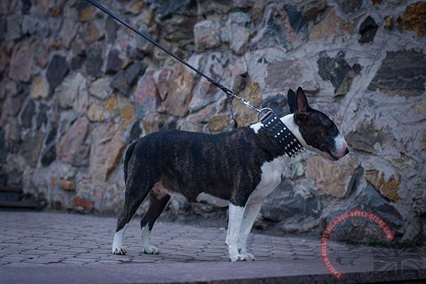 English Bullterrier black leather collar with rust-resistant nickel plated hardware for basic training