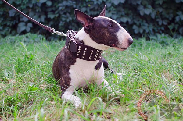 English Bullterrier brown leather collar with strong hardware for improved control