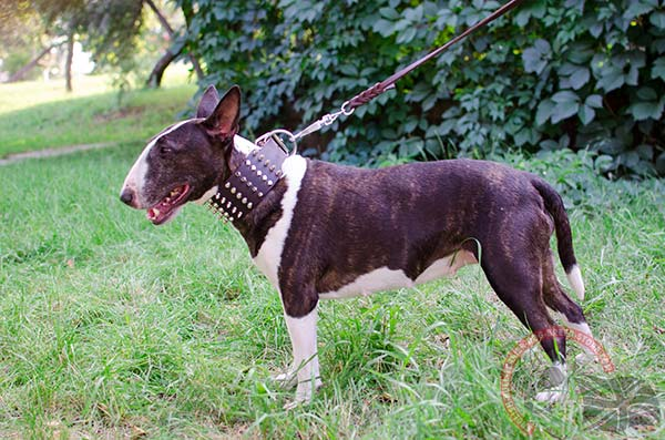 English Bullterrier brown leather collar snugly fitted with d-ring for leash attachment for daily walks