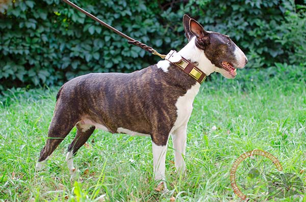 English Bullterrier brown leather collar of genuine materials with plates set in row for stylish walks