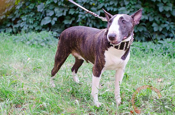 Extra Strong English Bullterrier Collar for Walking