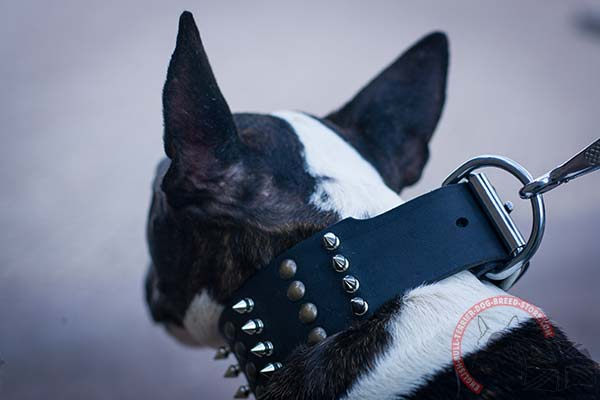 Extra Strong English Bullterrier Collar with Nickel Plated Hardware