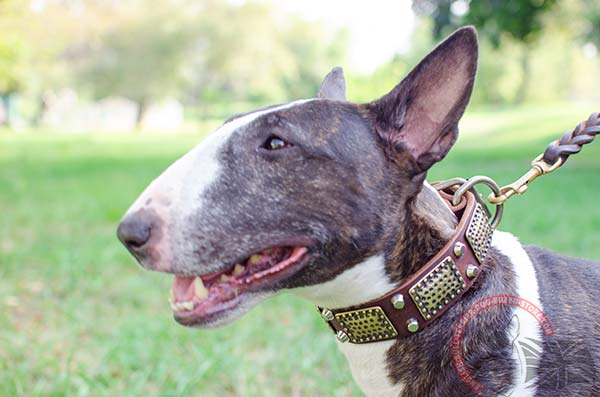 Leather English Bullterrier collar with plates and cones for everyday use