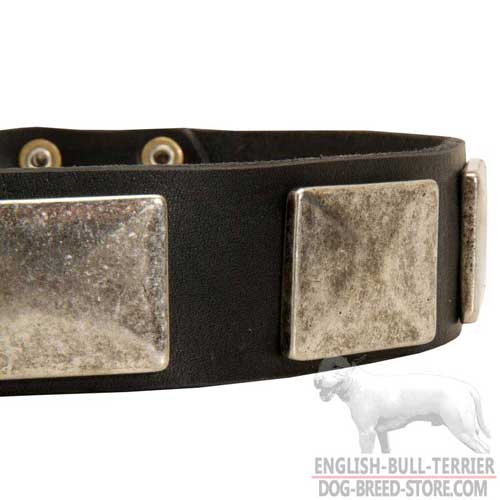 Massive Nickel Plates on Wide Leather Bull Terrier Collar