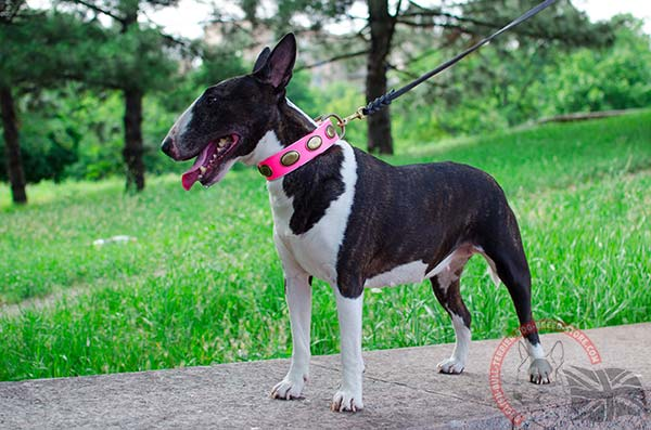 Luxury pink English Bullterrier collar with oval studs