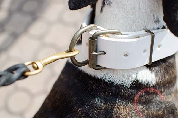 White English Bullterrier collar with rust proof hardware for walks