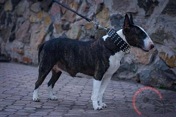 English Bullterrier Collar with Rustless Decorations