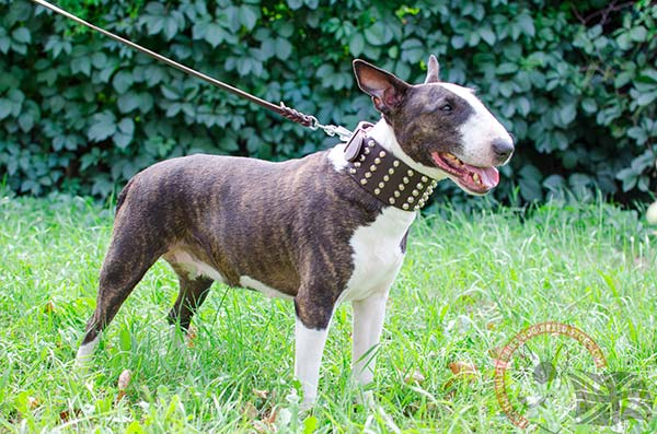 English Bullterrier Collar with Perfect Decorations