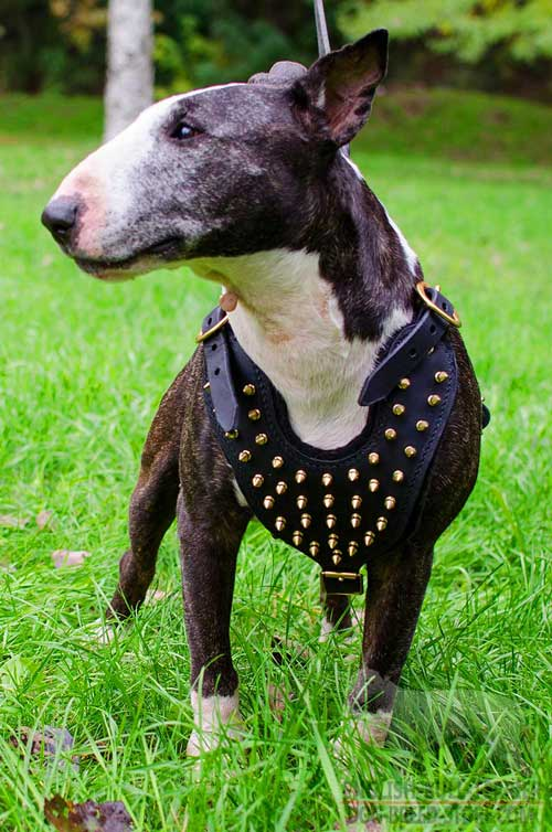 Custom Leather Bull Terrier Harness with Golden Brass Spikes
