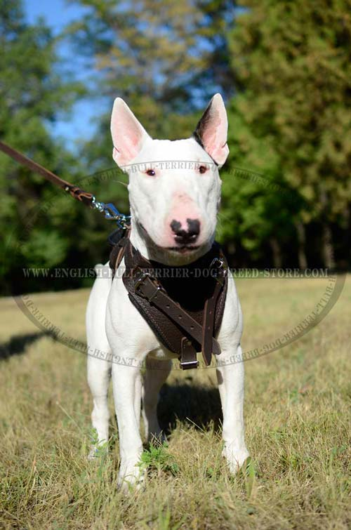 Padded Leather Bull Terrier Harness for Training Sessions