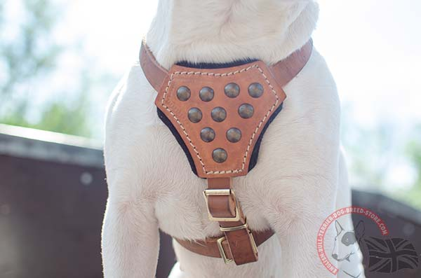 English Bullterrier harness with padded chest plate