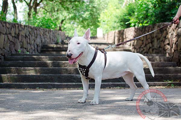 English Bullterrier black leather harness with rust-free fittings for safe walking