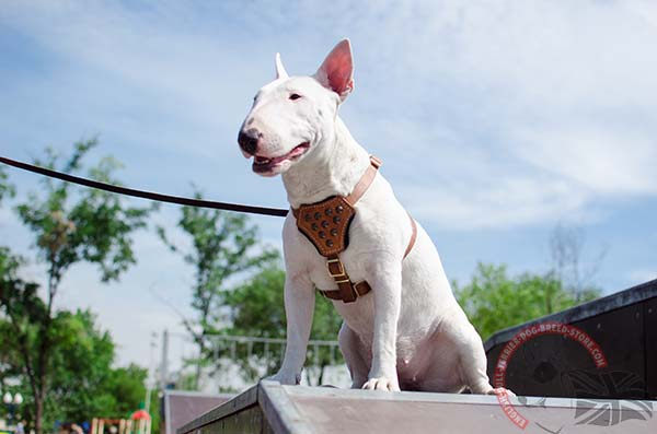 Obedience training English Bullterrier harness