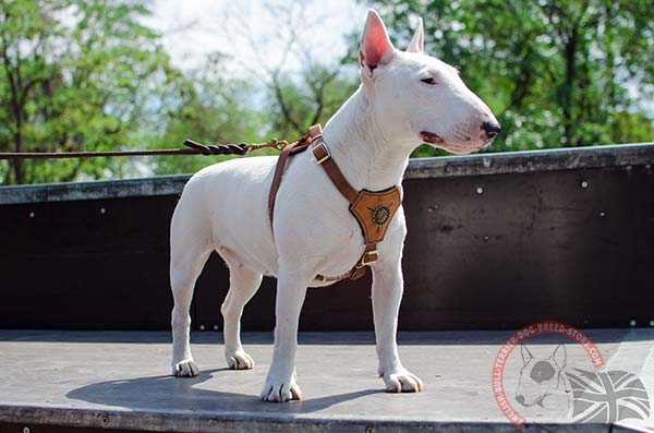 English Bullterrier puppy harness with royal decoration