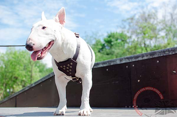 English Bullterrier puppy harness for walking in style