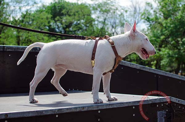 Soft and comfortable English Bullterrier puppy harness