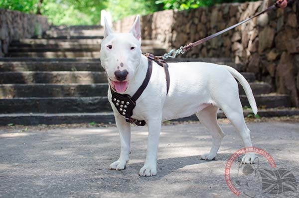 English Bullterrier puppy harness with shiny studs