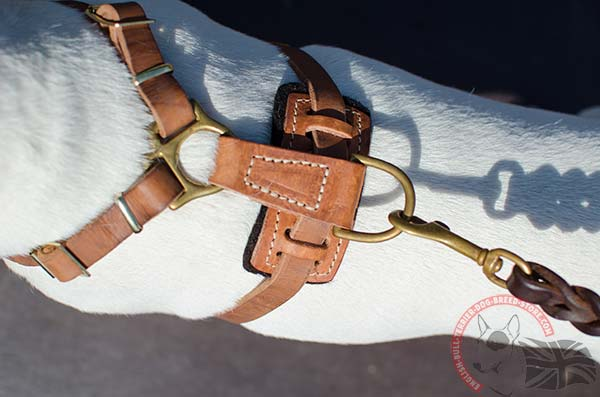 English Bullterrier harness with brass hardware