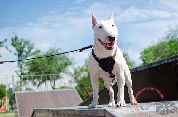 Soft leather English Bullterrier harness