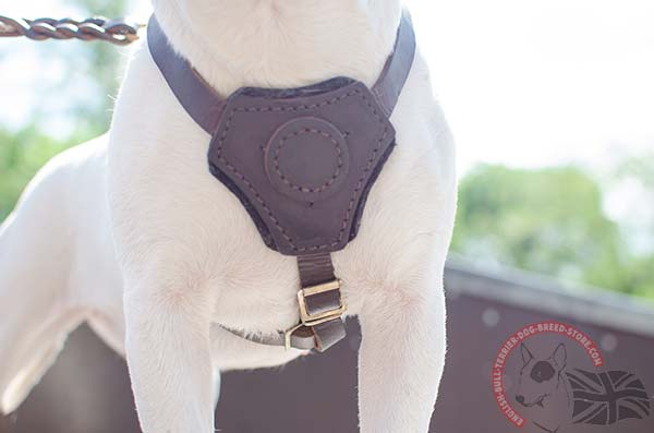 Soft padded chest plate on English Bullterrier puppy harness