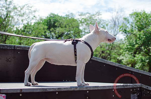 Adjustable leather English Bullterrier puppy harness
