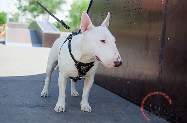 Padded English Bullterrier harness for walking