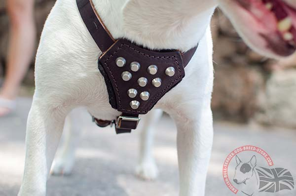 Studded English Bullterrier harness with padded chest