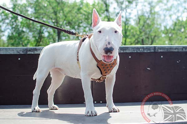 Studded English Bullterrier puppy harness